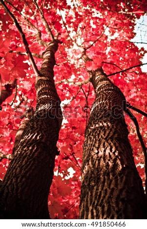 Long trunks of trees with a red leaf crown #491850466