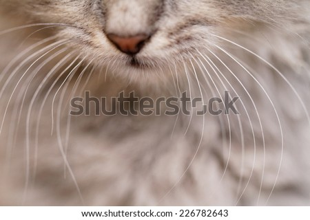 Long white whiskers and nose of a gray cat. - Shutterstock ID 226782643