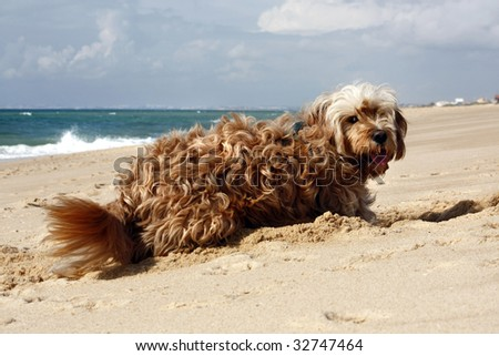 Long yellow and brown fur domestic dog digging a hole on the sand. - stock photo