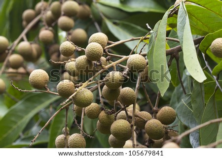 Longan fruite on tree