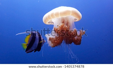 Longfin bannerfish approaching large jellyfish to take a bite in deep blue water of Andaman sea, Thailand. Banner fish eating jelly fish. Underwater photography. Scuba diving in Thailand. #1405374878
