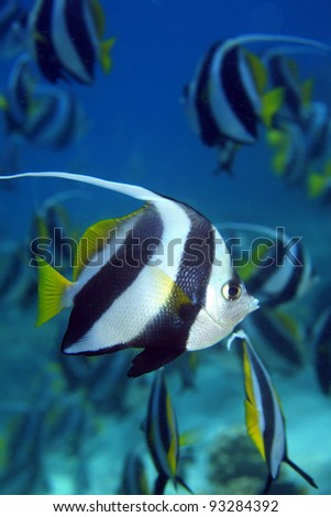 Longfin bannerfish in the tropical waters of the indian ocean
