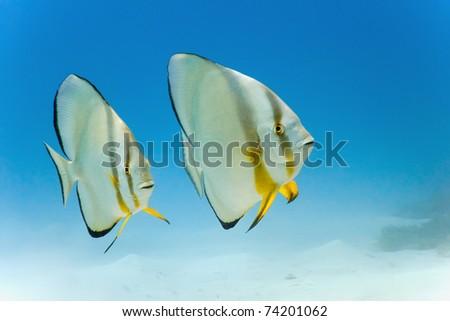 Longfin batfish from red sea