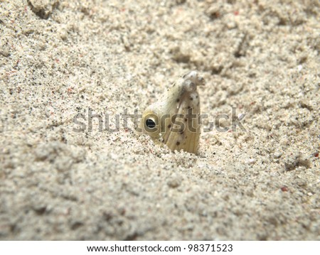 Longfin snake-eel hiding in the sand bottom