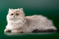 longhair cat golden blue chinchilla with green eyes on a green background isolate
