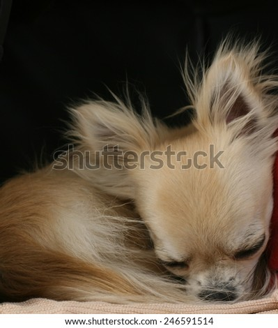 Longhair chihuahua dog curled up in a ball, sleeping and resting. Dog\'s good life