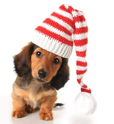 Longhair dachshund puppy wearing a Christmas Santa hat.