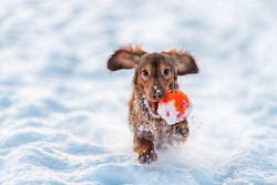 Longhaired Dachshund dog red color runs with the ball in his mouth with the snow