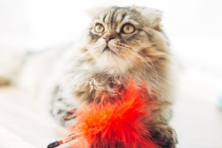 longhaired Scottish fold. brown scottish fold holding a red toy in the form of a feather and looking forward on a white background. funny cats