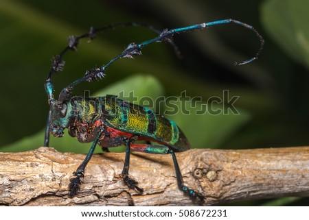 Longhorn beetle (Diastocera wallichi), Beetle in the tree #508672231
