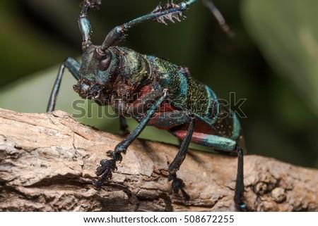 Longhorn beetle (Diastocera wallichi), Beetle in the tree #508672255