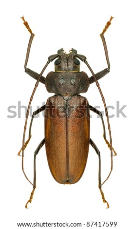 Longhorn beetle Ergates faber on a white background
