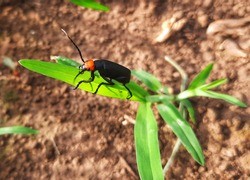 Longhorn beetles. This type of beetle usually has antennae that are longer than its body.  However, some have very short antennas.  Several species in this family are pests.