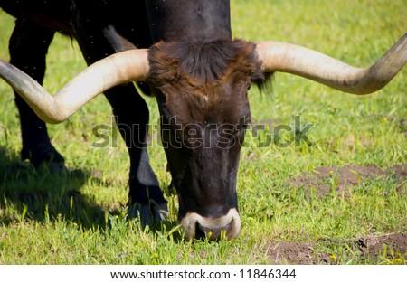 Longhorn Cattle and green grass