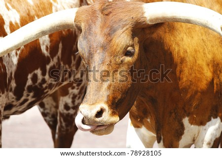 longhorn cattle are walked on a ...