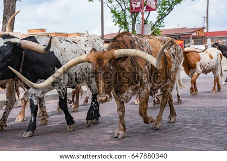 Longhorn Cattle Drive at the stockyards of Fort Worth, Texas
