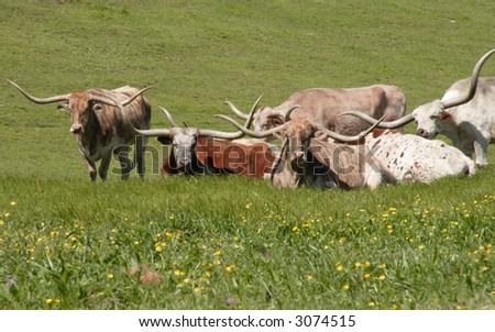 Longhorn cattle in field in Dallas Texas