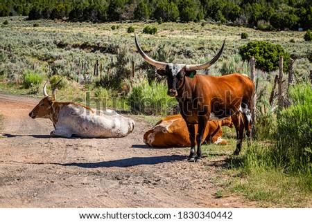 Longhorn Cattle on the open range in Kane County, Utah. Stock photo ©