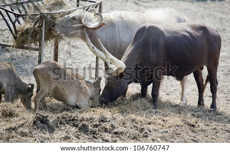 longhorn cattle with young eating