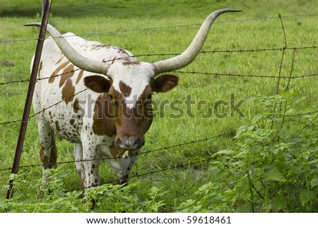 Longhorn cow eating grass through fence