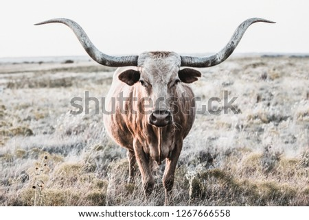 Longhorn cow shows off her horns