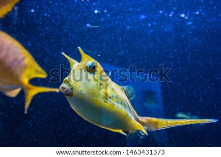 Longhorn cowfish, latin name Lactoria cornuta, also called the horned boxfish. Its primary habitat is coral reefs in lagoons, on reef flats #1463431373