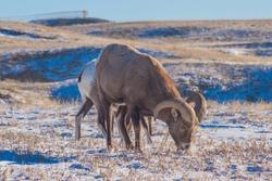 Longhorn Ram at Badlands National Park