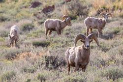 Longhorn Sheep in the Grand Tetons
