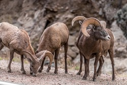 Longhorn sheeps on the way to Estes Park Colorado