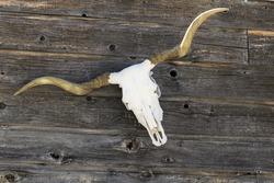 Longhorn Skull on a fence