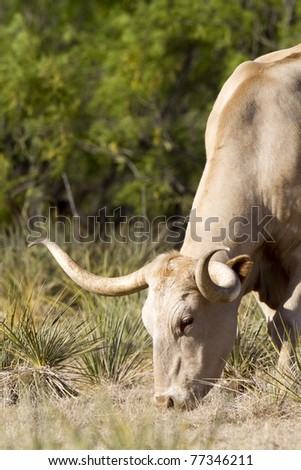 Longhorn Steer grazing at Palo Duro Canyon State Park in the Texas Panhandle