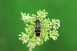 Longicorn beetles live on wild plants in North China