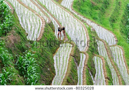 LONGJI, CHINA - JUNE 26: Unidentified Chinese farmer works hard on rice field on June 26, 2011 in Longji, China. For many farmers rice is the main source of income (around $800 annual).