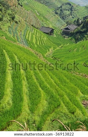 LongJi rice terraces (Guangxi province, China) in late summer with farmer's huts