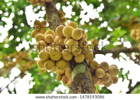 Longkong on fruit trees in Thailand has a sweet and slightly sour taste