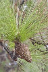 Longleaf pine (Pinus palustris). Called Southern Yellow Pine also