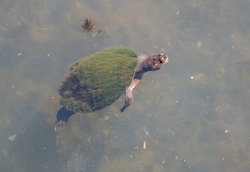 Longneck turtle swimming in pond in the Northern Territory of Australia