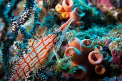 Longnose hawkfish (Oxycirrhites typus) hiding under a gorgonian, Sea of Cortez (Gulf of California), Mexico Pacific Ocean, color