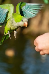 Lonk parakeet (Myiopsitta monachus), parakeet in flight looking for food from the hand not recognizable, selective focus