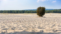 Lonley bush on Bledow Desert, the biggest sand accumulation away from any sea, located in southern Poland