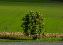 Lonley tree by a field