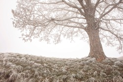 Lonley tree in the mist close-up. Foggy landscape with tree silhouette. Big oak tree with hoar frost on branches. Frozen, cold weather.