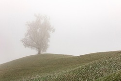 Lonley tree in the mist on the hill. Foggy landscape with tree silhouette. Frozen, cold weather.