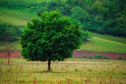Lonley tree on green grass hills