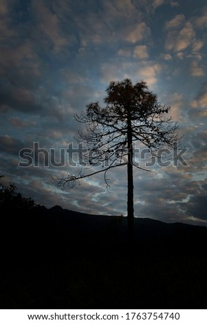 Lonly pine tree before the sunset