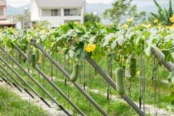 loofah farm in the daytime at Nantou, Taiwan