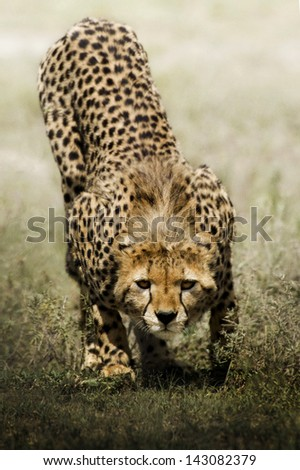look of cheetah