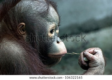 Look of little monkey (Pongo pygmaeus)