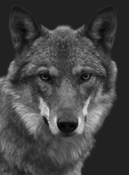 Look straight into your soul of severe wolf female. Menacing expression of the young, two year old, european wolf, very beautiful animal and extremely dangerous beast. Black and white image.