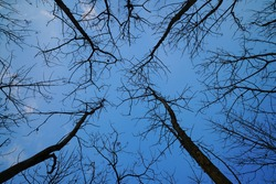 look up into the treetops silhouette,with blue sky.